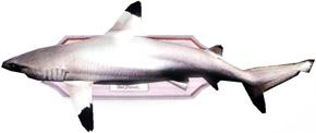 präparierter Hai an der Wand